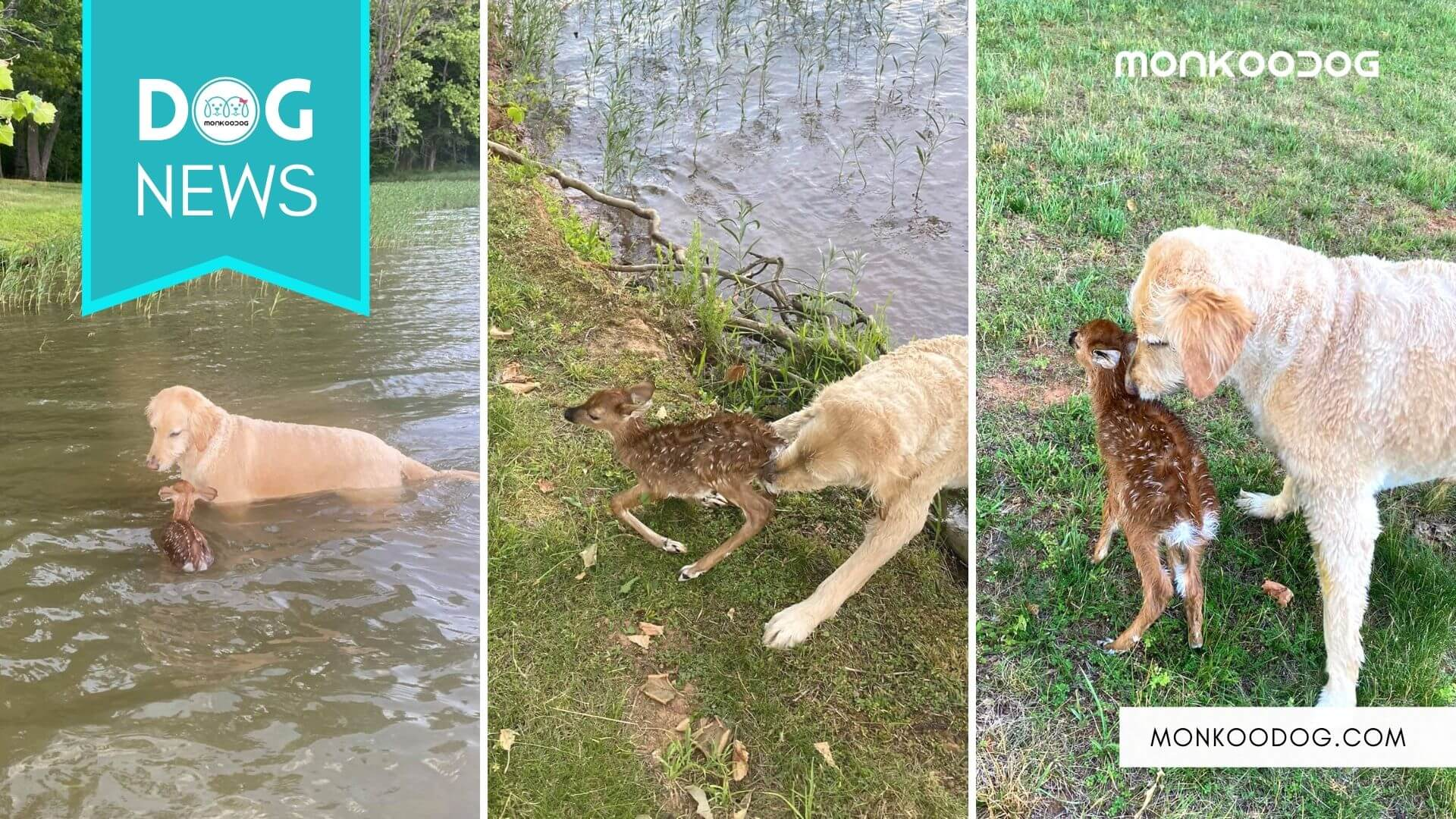 Dog Saves Fawn From Drowning, Fawn Comes Back To Meet The Dog