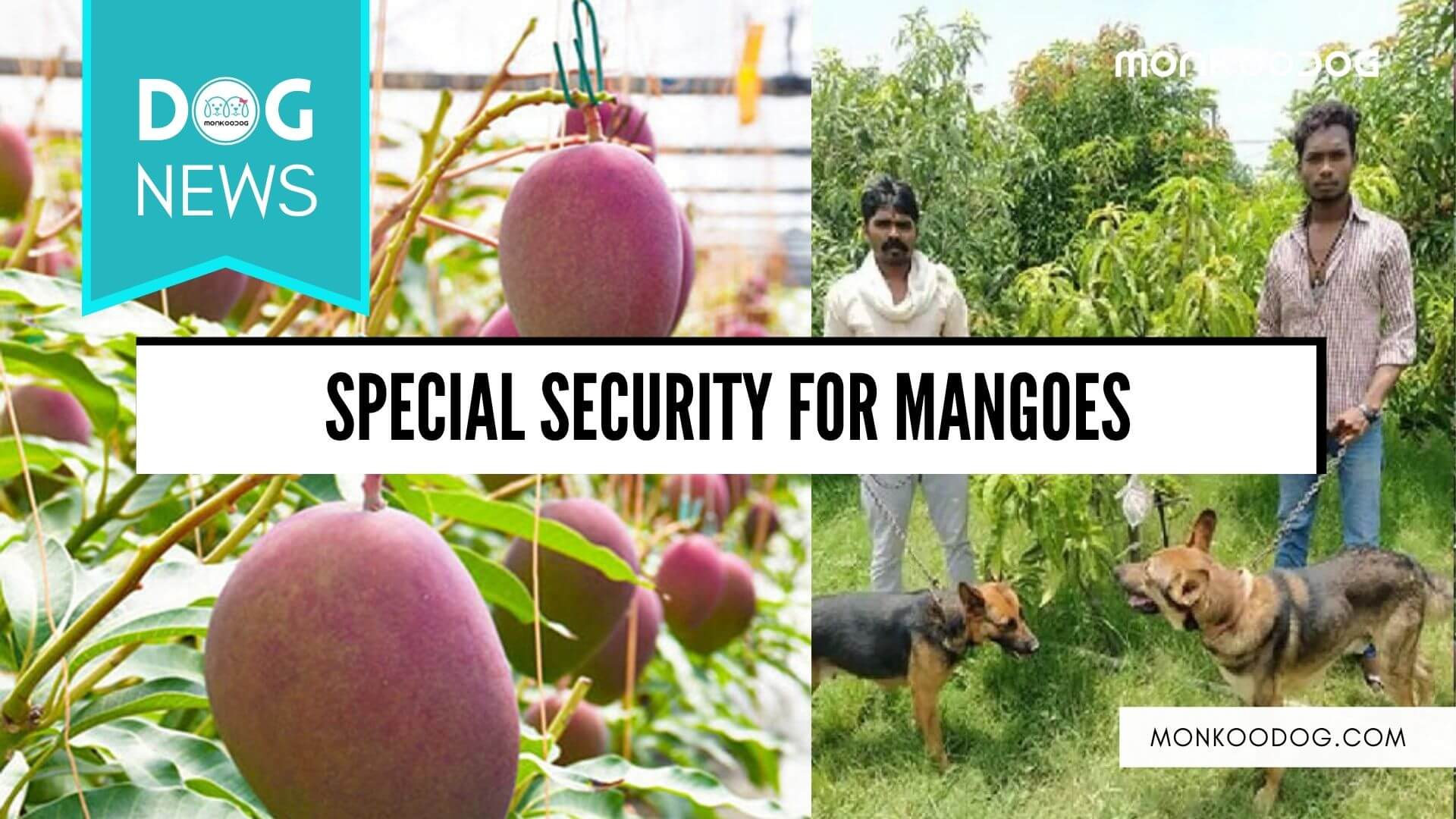The couple deploys an army of guards and dogs to protect the rare Miyazaki Mangoes
