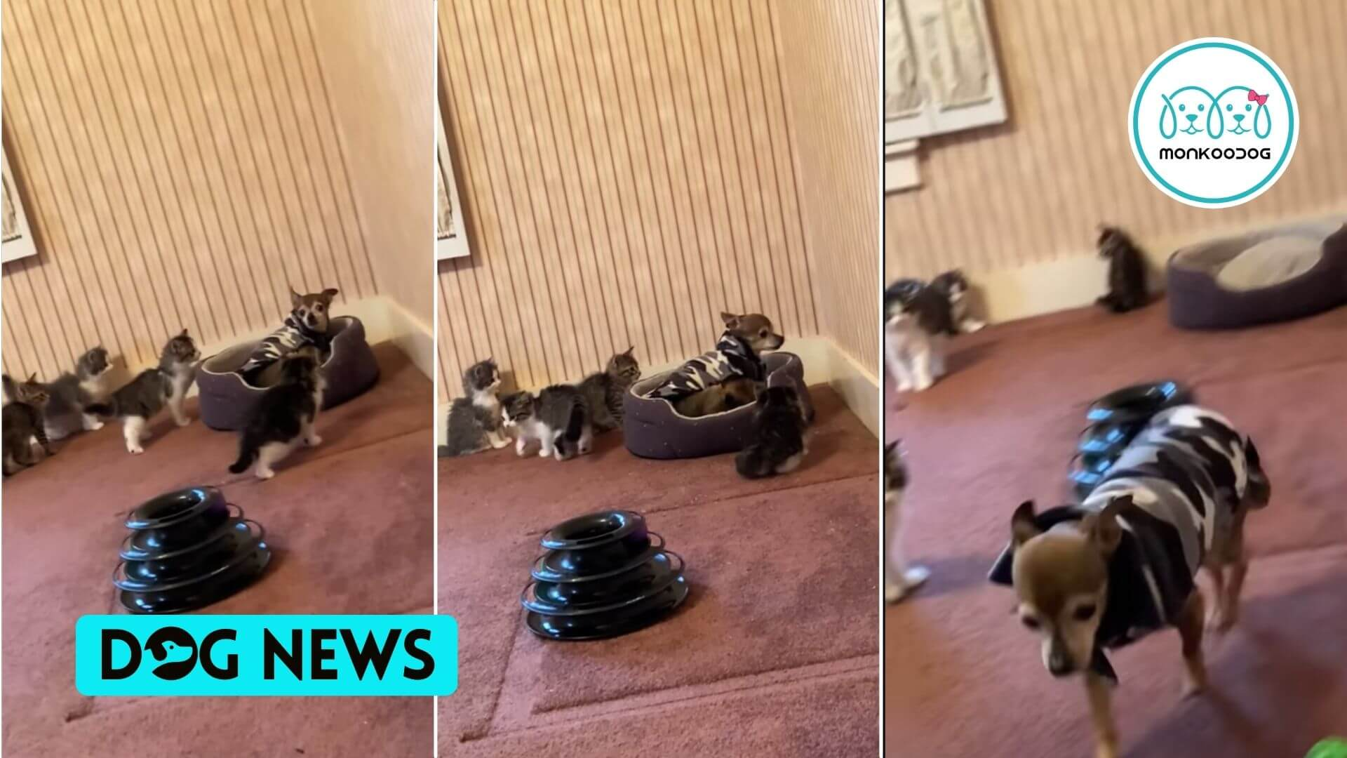 A litter of kittens corner's a resting Doggo, his reaction is simply adorable!! Watch out for this winsome video