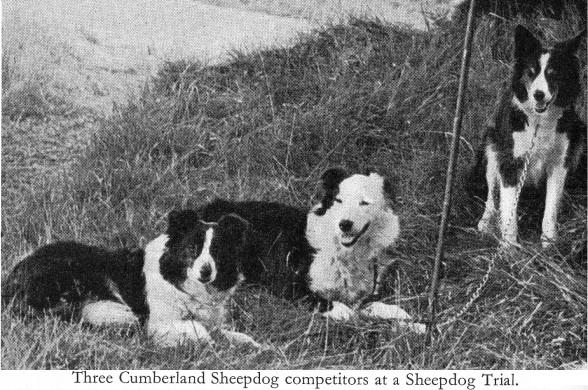 Cumberland Sheepdog Dog Breed