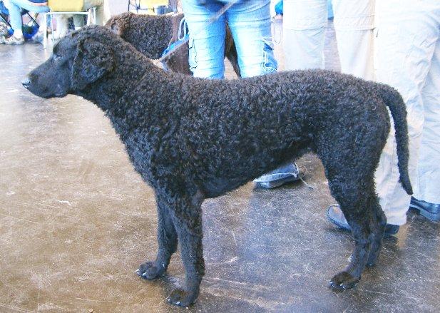 Curly-Coated Retriever Dog Breed