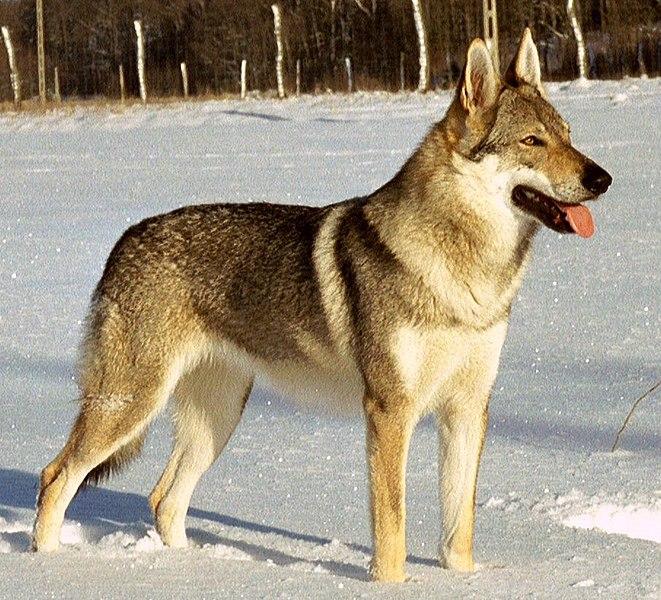 Czechoslovakian Wolfdog Dog Breed