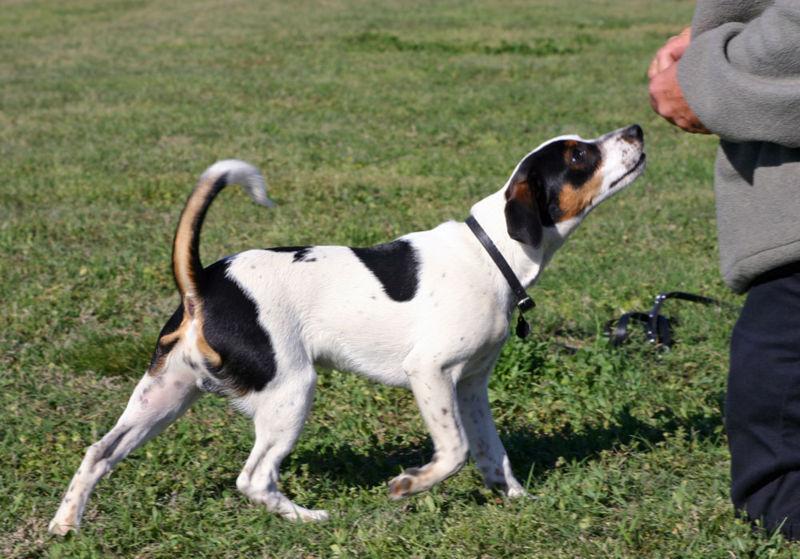 Danish-Swedish Farmdog Dog Breed