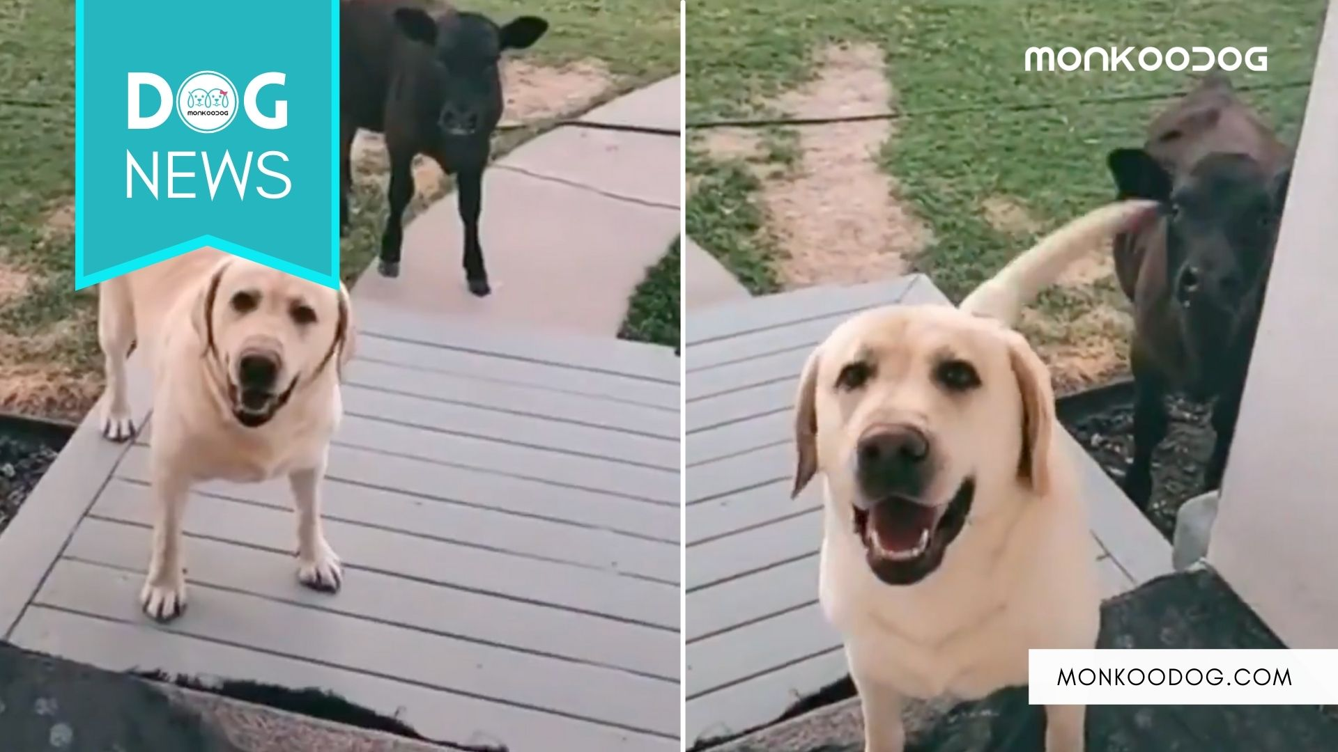 Doggo brings home a Mooing friend for a sleepover, Mom's reaction is hilarious!!