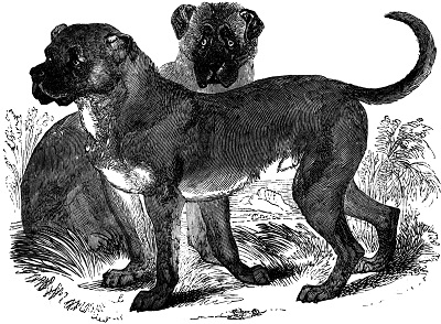 Dogo Cubano Dog Breed