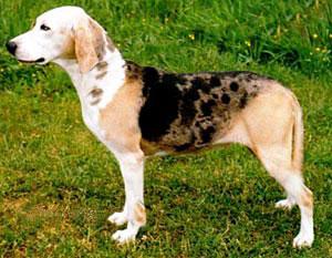 Dunker Dog Breed