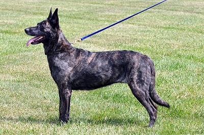 Dutch Shepherd Dog Breed