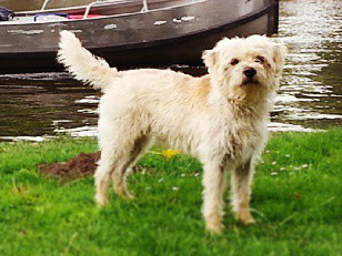 Dutch Smoushond Dog Breed