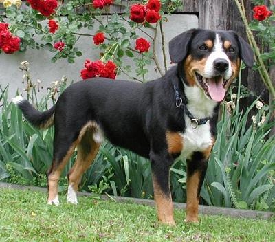 Entlebucher Mountain Dog Breed