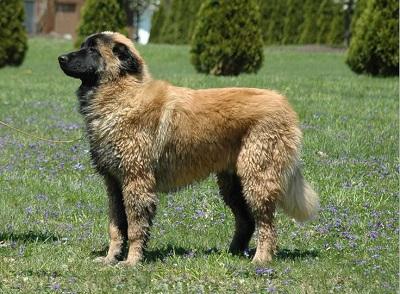 Estrela Mountain Dog Breed