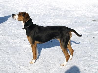 Finnish Hound Dog Breed