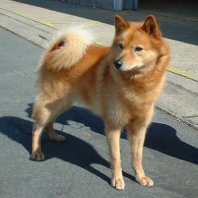 Finnish Spitz Dog Breed