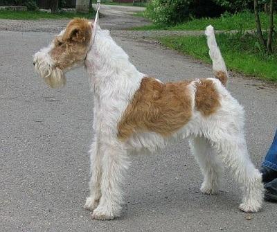 Fox Terrier Wire Dog Breed
