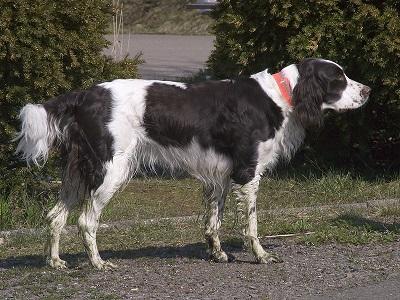 French Spaniel Dog Breed