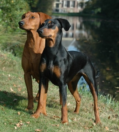 German Pinscher Dog Breed