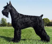Giant Schnauzer Dog Breed