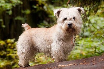 Glen of Imaal Terrier Dog Breed