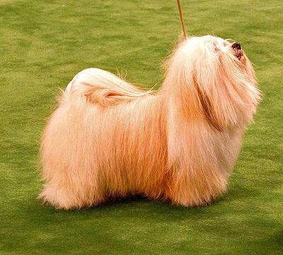 Havanese Dog Breed