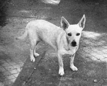 Hawaiian Poi Dog Breed