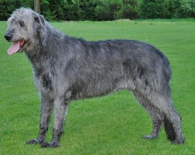 Irish Wolfhound Dog Breed