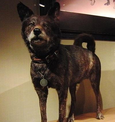 Kai Ken Dog Breed