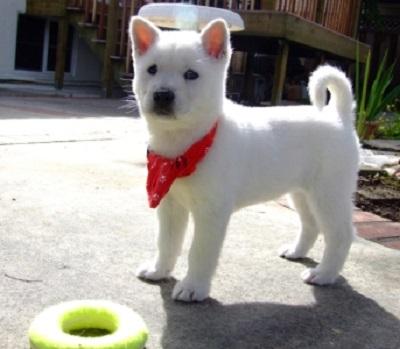 Kishu Ken Dog Breed