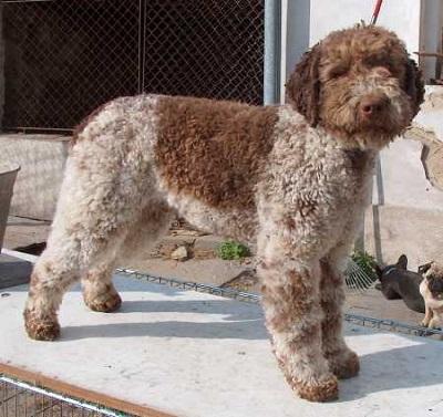 Lagotto Romagnolo Dog Breed