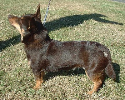Lancashire Heeler Dog Breed