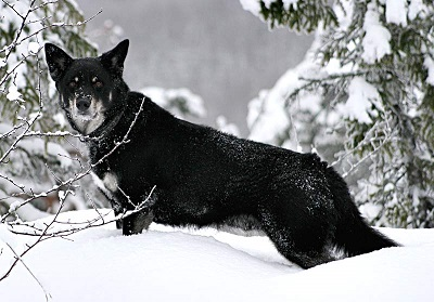Lapponian Herder Dog Breed
