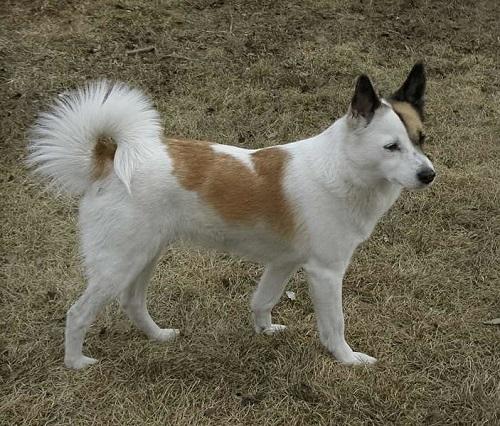 Norrbottenspets Dog Breed