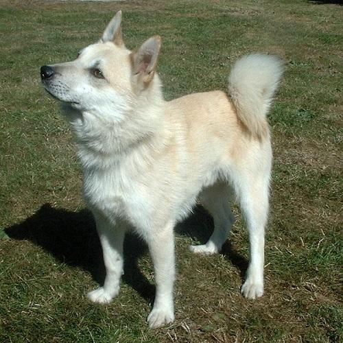 Norwegian Buhund Dog Breed