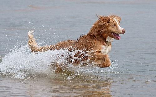 Nova Scotia Duck Tolling Retriever Dog Breed