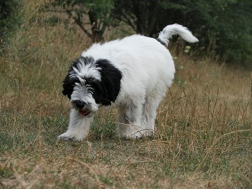 Polish Lowland Sheepdog Breed