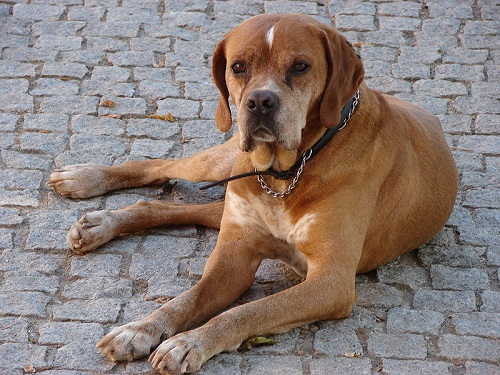 Portuguese Pointer Dog Breed