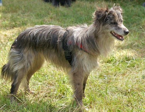 Pyrenean Shepherd Dog Breed