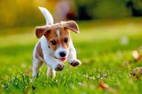 Russell Terrier Dog Breed