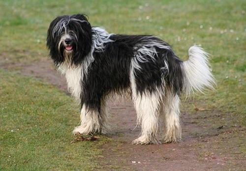 Schapendoes Dog Breed