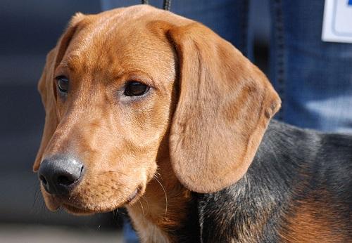 Schillerstövare Dog Breed