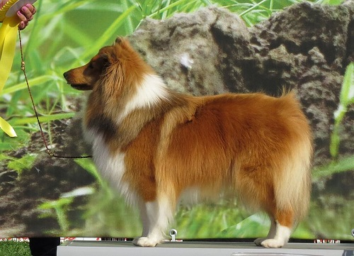Shetland Sheepdog Breed
