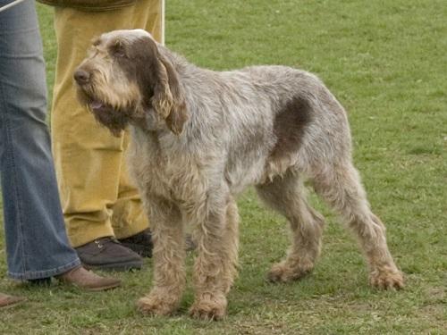 Spinone Italiano Dog Breed