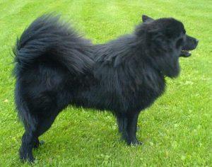 Swedish Lapphund Dog Breed