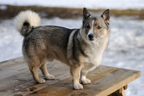 Swedish Vallhund Dog Breed