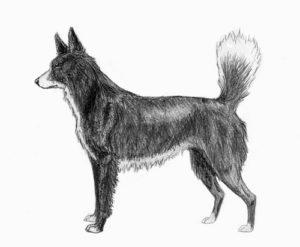 Tahltan Bear Dog Dog Breed