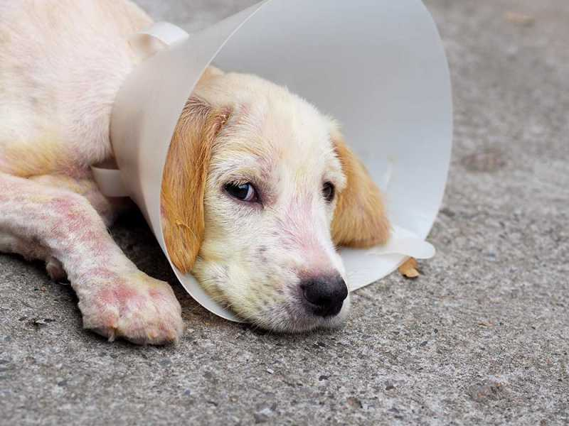 Treatment of Mange in Dogs