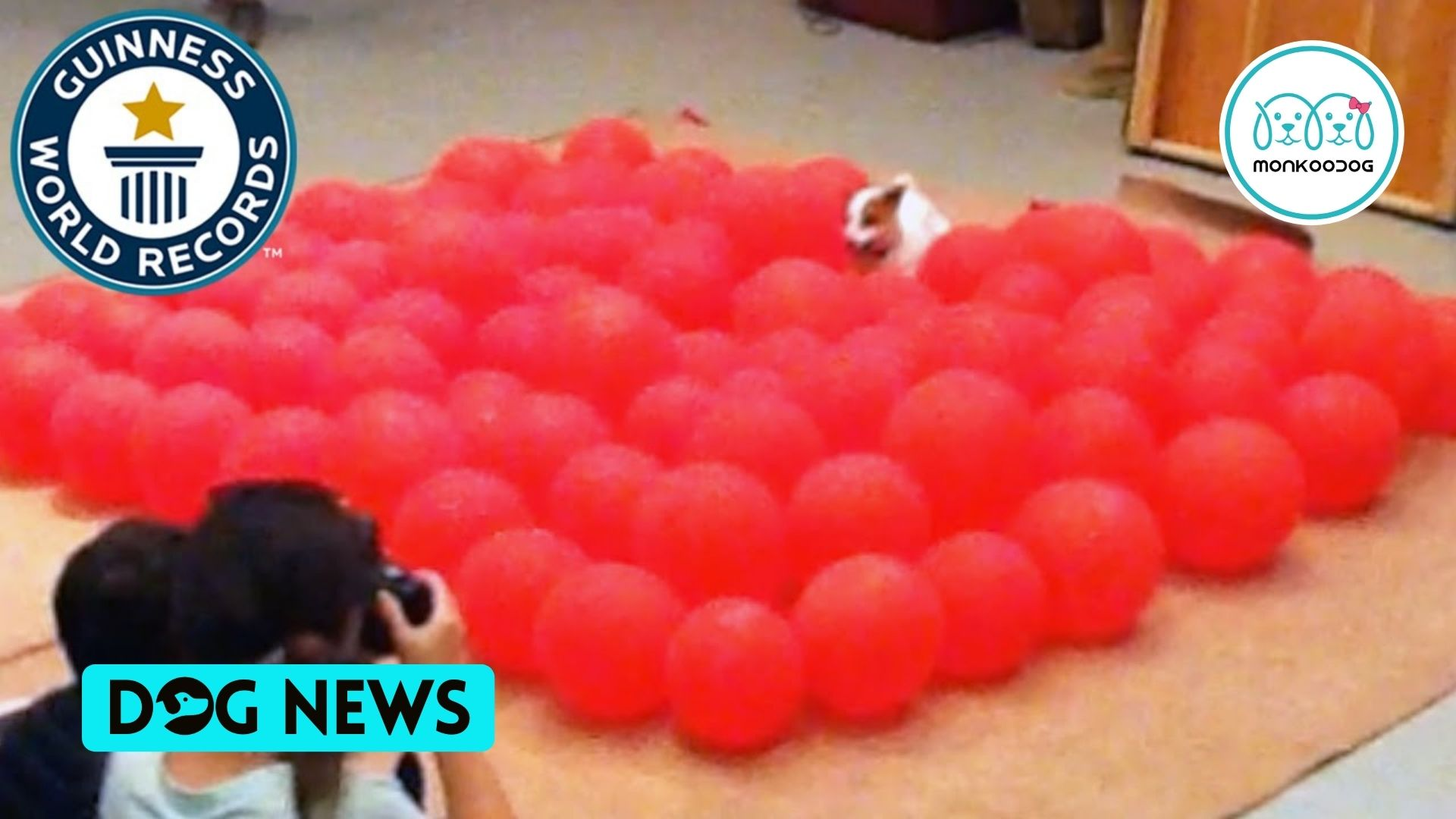 Watch An adorable little dog popping balloons to bag A Guinness World Record