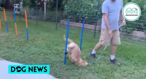 Watch: How This Puppy Fails At Dog Obstacle Course In The Most Spectacular Way!