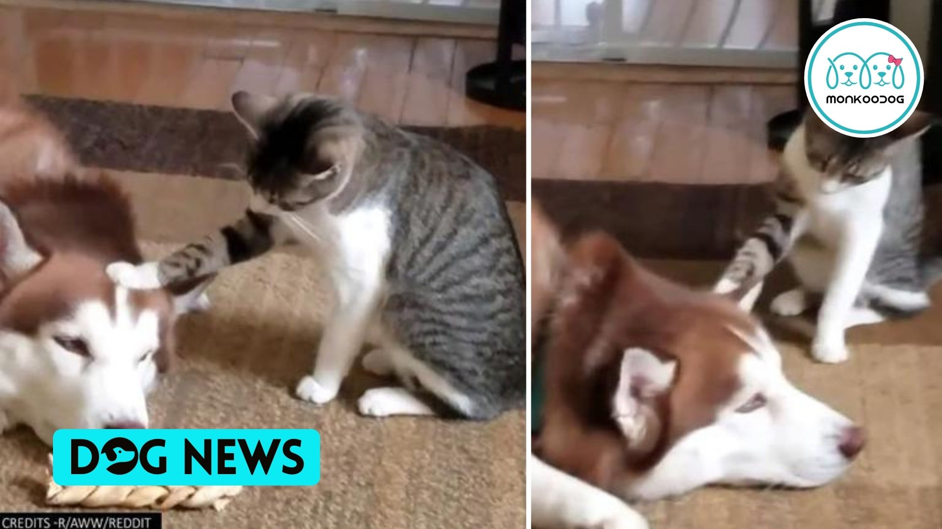 A Curious Cat Testing Husky Dog's Patience In This Video Is Going Viral On Dog's Reaction. MUST WATCH.