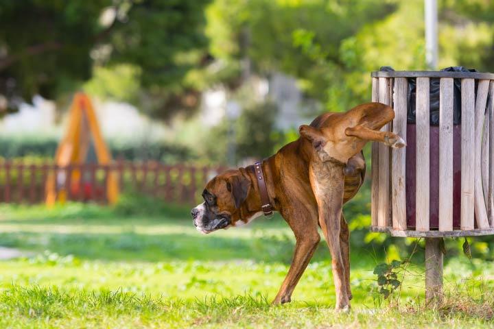 Dog Peeing Outdoors