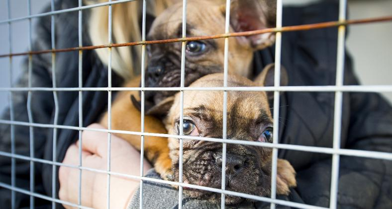 Government Introduces New Rules on puppy smuggling