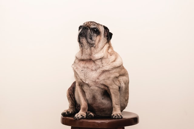 Is-your-dog-starting-to-look-obese-Heres-what-you-should-do-2
